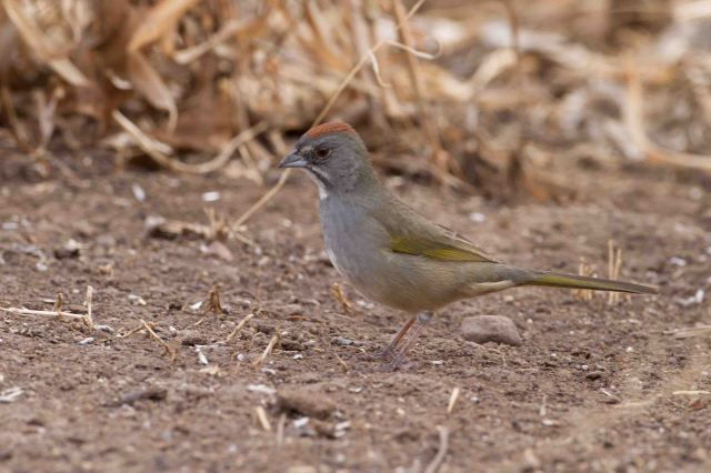 green-tailed-0267