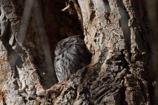 owl-0867