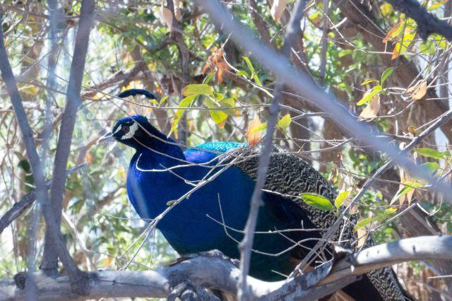 peacock-0768