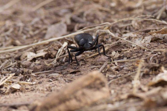 beetle-3931
