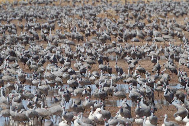 cranes-3302