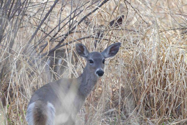 double deer-4610