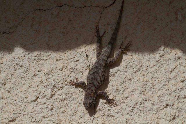lizard-3713