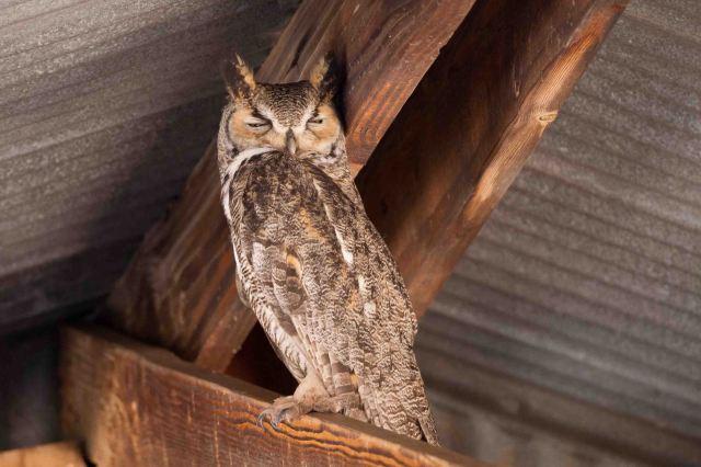 owl-3378