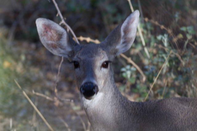 deer-6809
