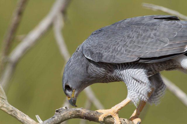 grey1-9677