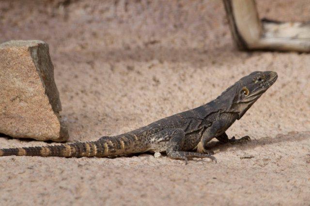 lizard-9600