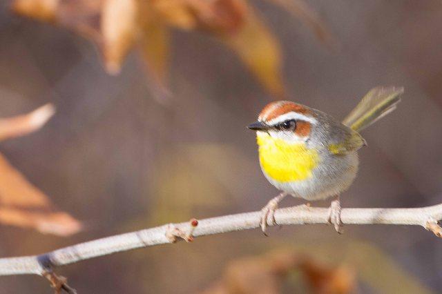 warbler-