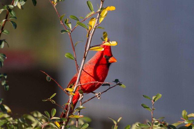 cardinal-0494