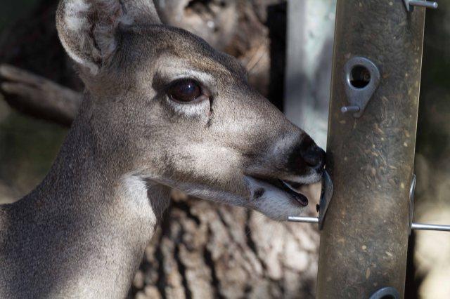deer-0375