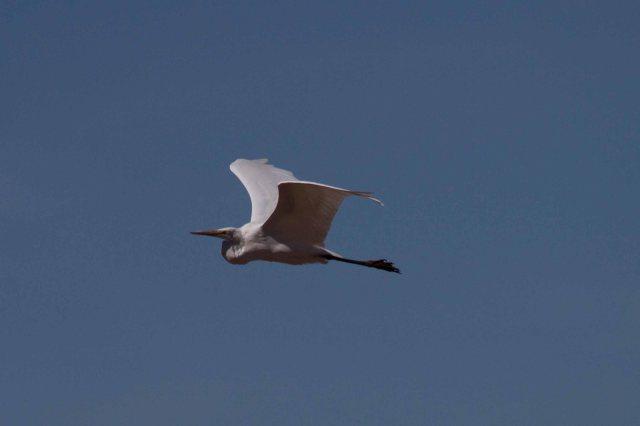 egret-1895
