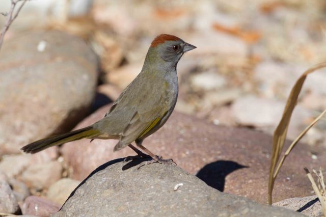 green-tailed-2939