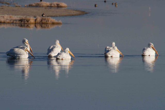pelicans-2348