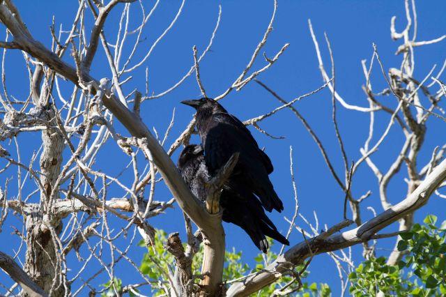 ravens-3997
