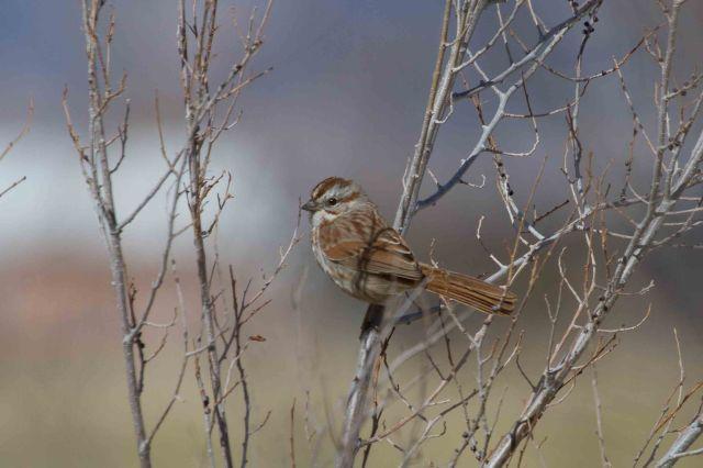 song sparrow-2531