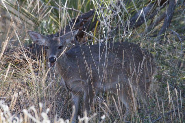 talking deer-3515