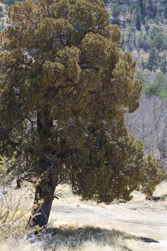 big tree-4389