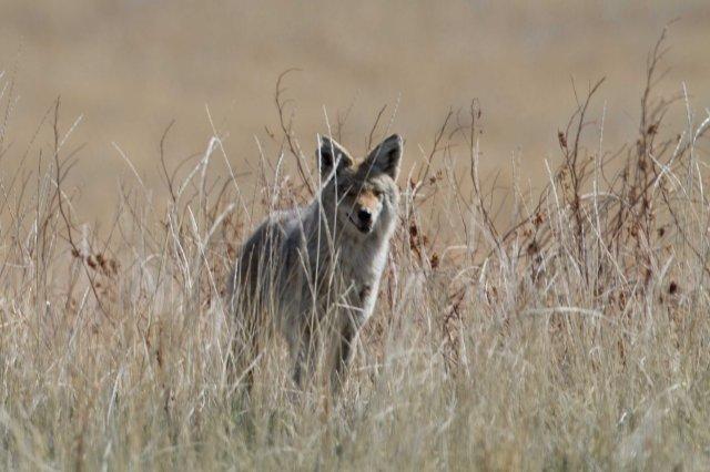 coyote-5943