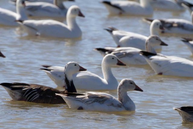 geese-4633