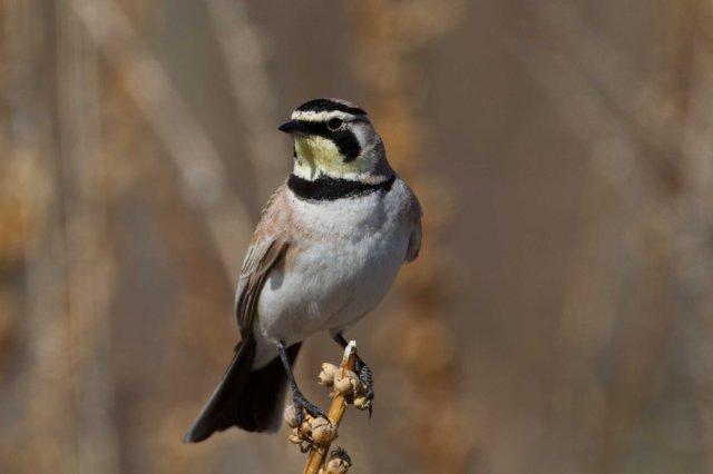 horned lark-5869