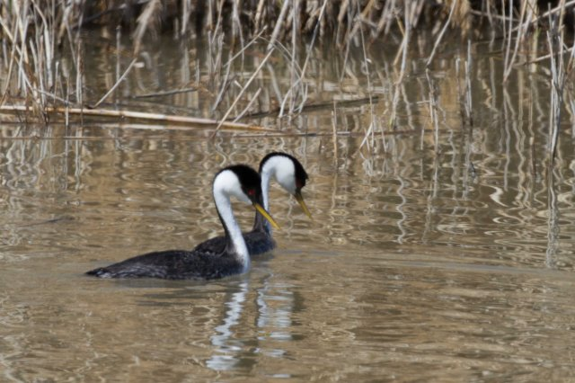 pair of grebes-6624
