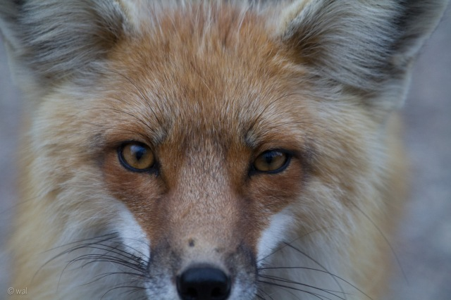 fox1-1