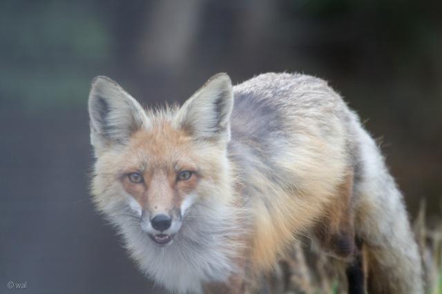 fox2-1