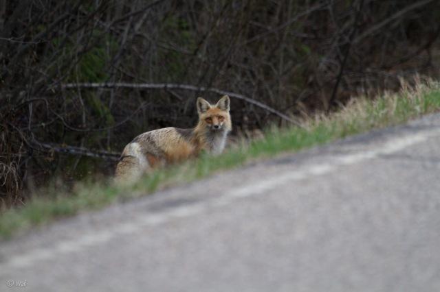 fox3-1