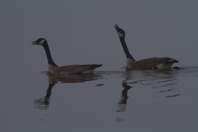 geese a'calling-7977