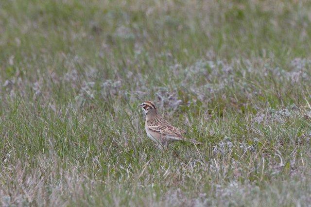 lark sparrow-7056