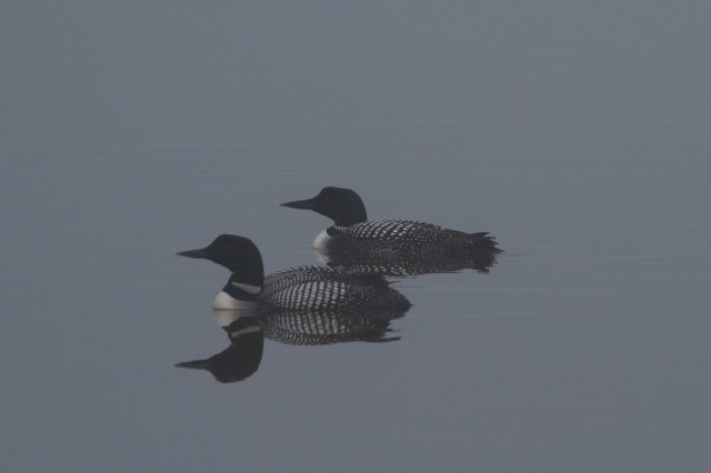 loons-7965