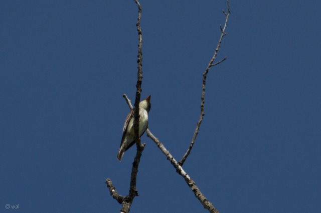 olive-sided-1
