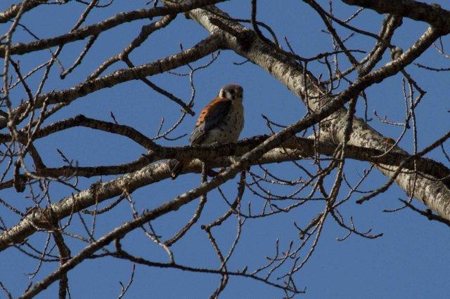 sparrow male-7760