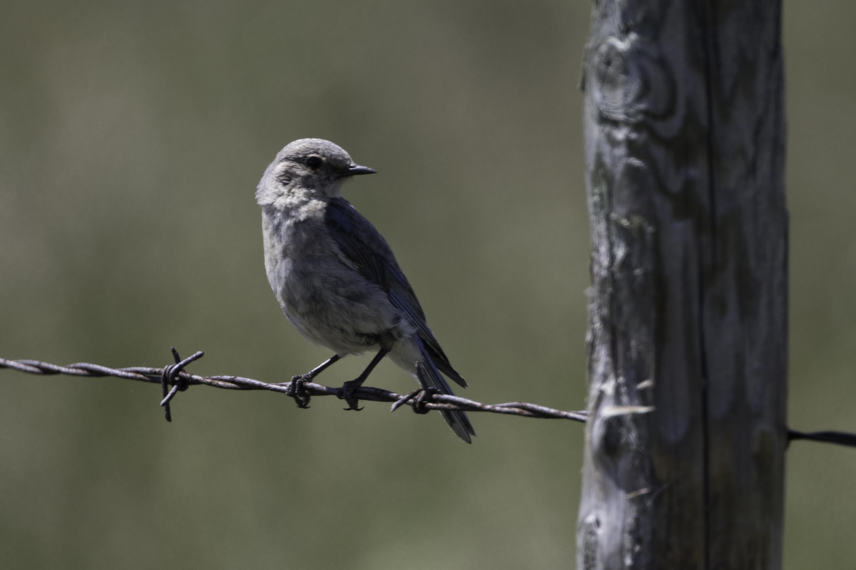 Blue Bird, female