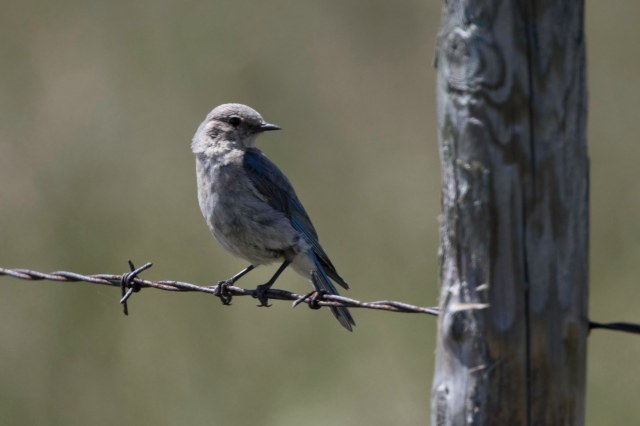 Blue Bird, female